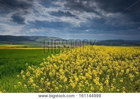 Colza Fields Of Lower Saxony , In Germany