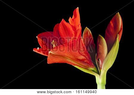 Red Amaryllis blossom isolated against black background