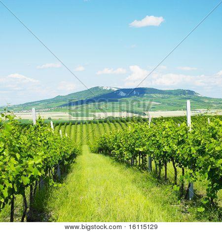 vineyards, Palava, Czech Republic