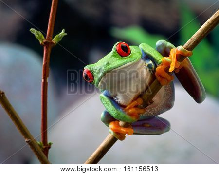 The red-eyed tree frog. Frog with red eyes wood. Beautiful green and blue colors. Exotic animal of rain forest. agalychnis