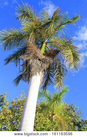 Royal Palm Tree In Hawaii