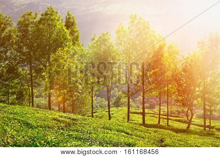 Tea plantations in morning fog. Munnar, Kerala, India. With lens flare and light leak