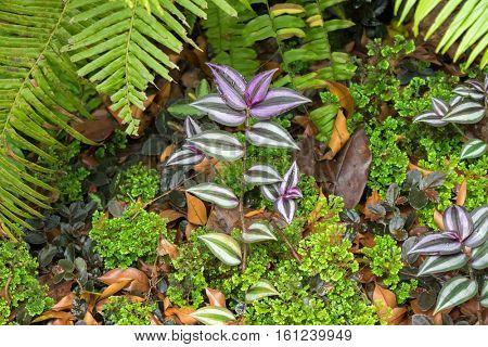 Closeup photo of Inchplant, Wandering jew (Tradescantia zebrina Hort ex Boss) growing among moss and fern in Singapore