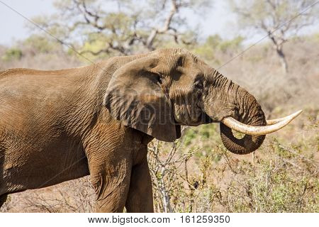 african bush elephant walking in savannah, wide angle