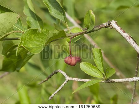 Ripe fruit on European or common spindle Euonymus europaeus close-up with bokeh selective focus shallow DOF