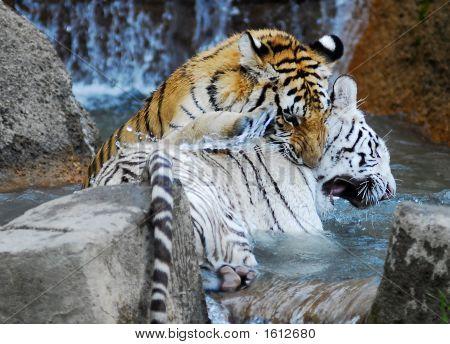 White And Orange Tiger Playing