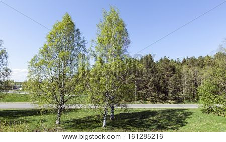 Sunshine in spring. Birches, meadows and roads. Forest and buildings in the background.
