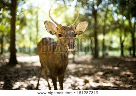 Little roe deer