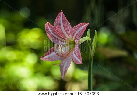 Closeup of pale red amaryllis flower and green background