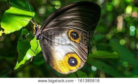 Close- up view of a beautiful Butterfly, Gam Island, Raja Ampat, Indonesia. West Papua