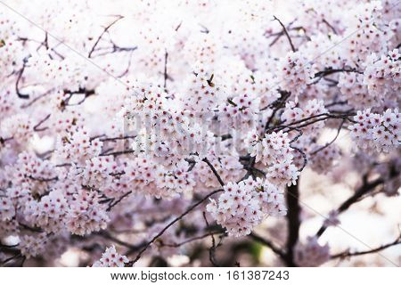 Cherry blossom in full bloom. Cherry flowers in small clusters on a cherry tree branch. Shallow depth of field. Focus on center flower cluster. Intentionally shot in impressional tone.