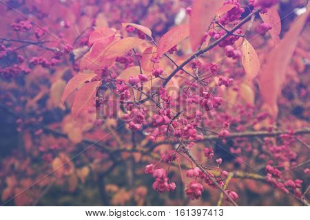 Autumnal Spindle Tree Pink Fruits on Branch