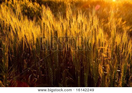 Wheat field and sunset