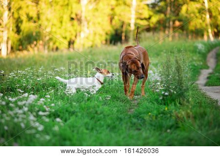 Jack Russell Terrier puppy in the grass discovers the world