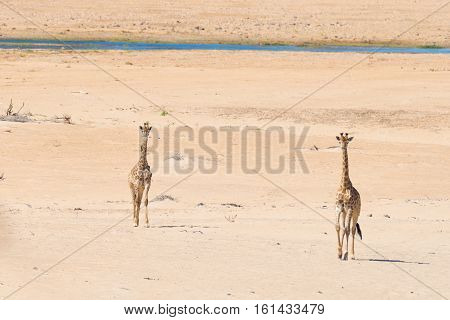 Couple Of Giraffe Walking In The Bush On The Desert Pan, Daylight. Wildlife Safari In The Etosha Nat