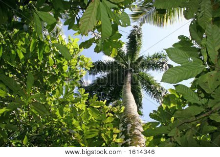 Palm Tree In Dominican Republic Forest