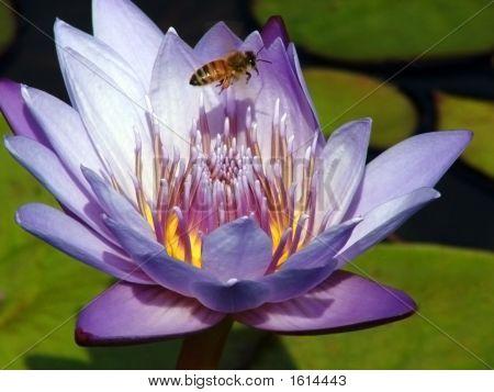 Little Bee, Big Lotus