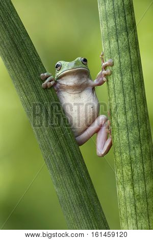 Dumpy frog, tree frog in the middle branch