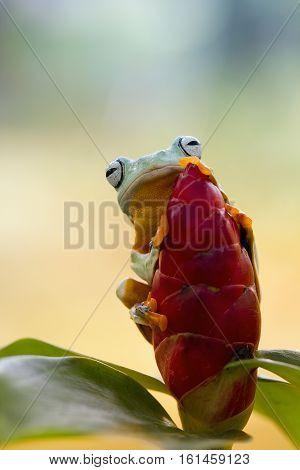 Tree frog, Javan gliding tree frog, beautiful, cute, art
