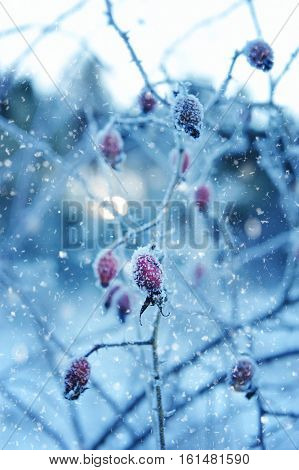 Red rosehip berries with hoar frost. Close