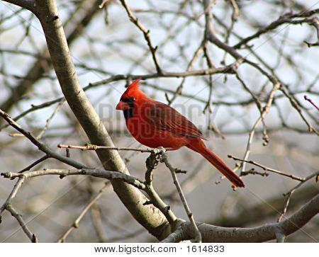 A cardinal in a leafless tree in early