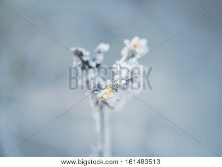 Frozen Flower In Winter With The Hoar-frost
