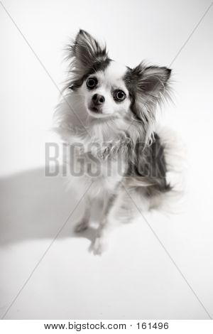 Long Coat Chihuahua