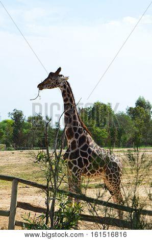 Tunisia; the Zoo; Phrygia; giraffe; animals; wild; nature; enclosure; fauna.private; corral; eucalyptus; sand; mammal; Africa