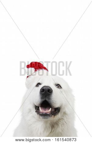 Portrait of a cute white dog wearing a Santa hat and a pleading expression isolated on white.
