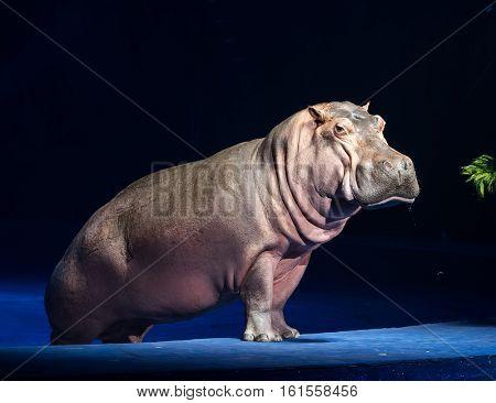 Sparring Hippos on dark background