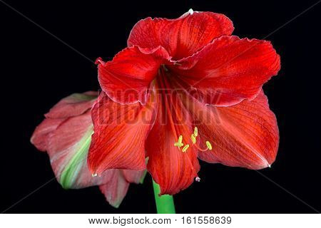 Close-up of colorful amaryllis flower. Zen in the art of flowers. Macro photography of nature.
