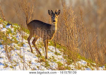 Roe Deer On Snowy Hillside