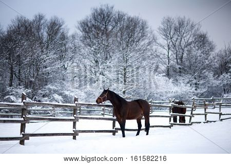 Chestnut brown horses in a cold winter pasture. Horses waiting for riders in in a snow covered corral