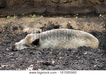 A wild boar sleeping in the dirt