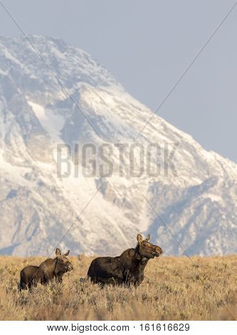 Cow Moose And Juvenile Running From Gunfire From Hunters With Mount Moran In The Background