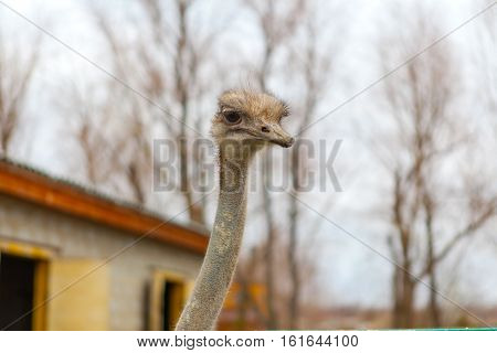 ostrich; farm; head; nature; wild; beak; breeding; ostriches; portrait; closeup; bird; holiday; face; animal; wildlife; eye; large; africa; african; meat; feather; egg; fauna; zoo; fence; neck; watching; wool; curious; feathers; lane; stare; livestock; cu