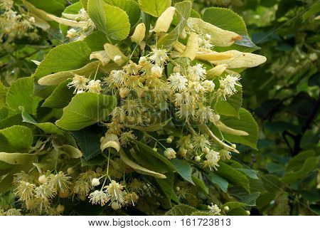Fresh flowers of linden tree (Tilia) also known as lime and basswood