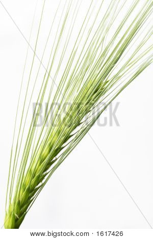 Barley Seed Head