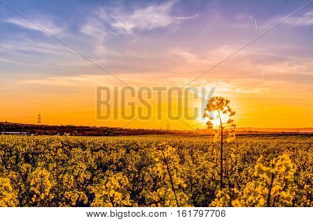 Oilseed Rape Field