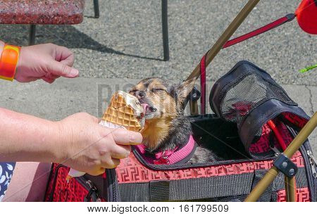 Dog in summer licking ice cream on a hot day