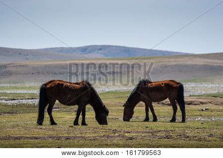 Two wild horses in Mongolian steppe on hills background