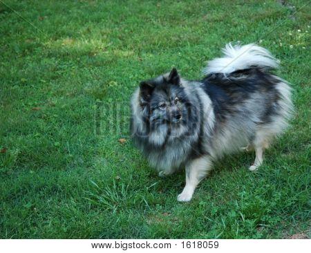 Keeshond Dog