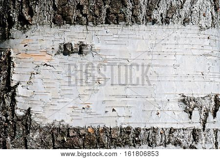 Beautiful texture of birch bark background. Close-up