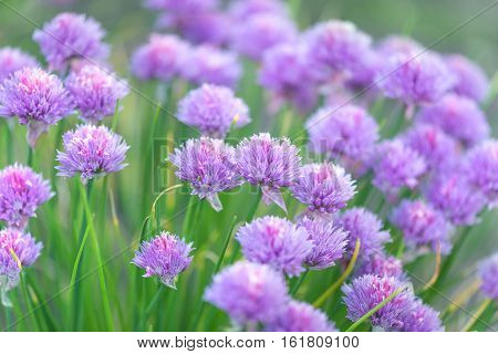 Purple flowers of chives onion (Allium schoenoprasum) outdoors closeup. Spice growing in the garden