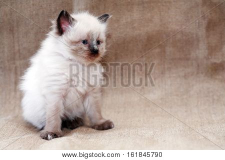 Nice small white kitty on canvas background