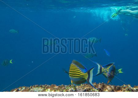 Yellow fish on the seabed of Similan Islands in Thailand. Underwater marine life in Andaman Sea with copy space.