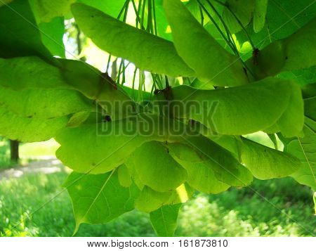 maple seeds green ripen on the tree in the summer