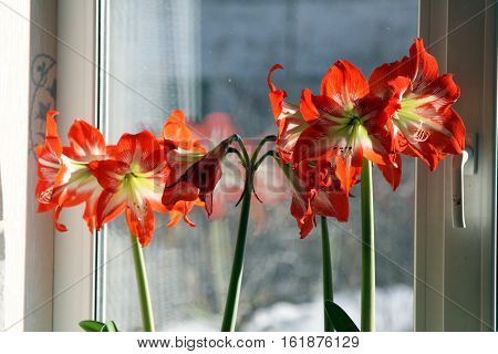 Red Flower On With Latin Name Amaryllis Or Hippeastrum. Selected Focus.