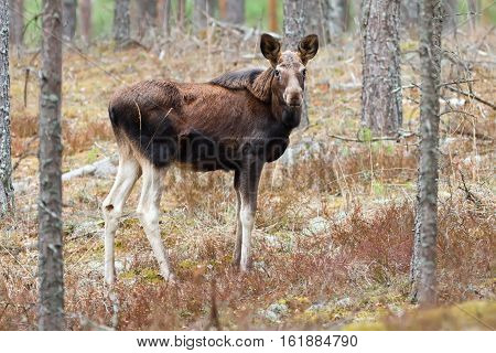 Juvenile elk (Alces alces) in pine forest of northern part of Belarus
