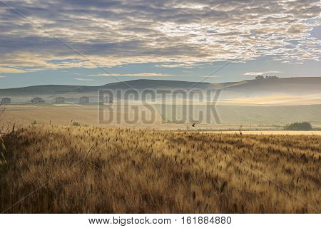 Rural landscape spring. Between Apulia and Basilicata:wheat field at dawn.ITALY. Hilly country:in the background abandoned farmhouses.